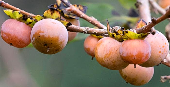 маленькие плоды кавказской хурмы
